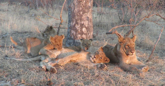 Lion cubs playing in Balule Nature Reserve