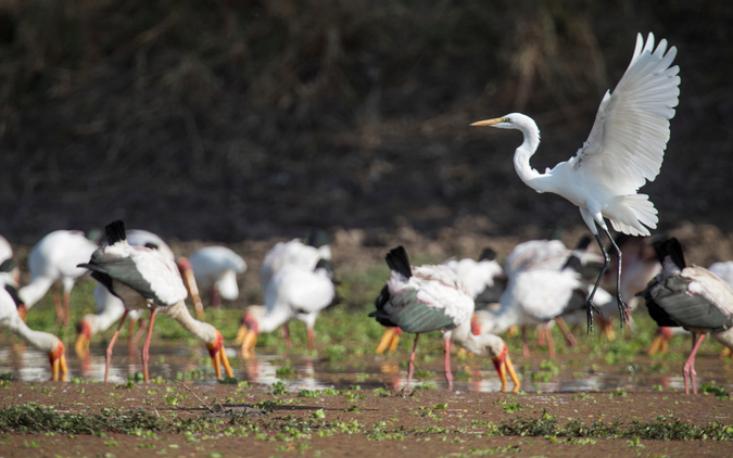 A great egret in search of fish, while yellow-billed storks patiently wait for any sign of prey in South Luangwa National Park, Zambia © WWF Zambia