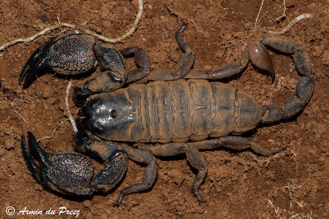 A male intermediate creeper scorpion (Chelotonus intermedius)