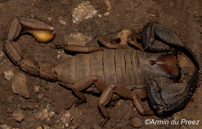 A male pugnacious burrowing scorpion (Opistophthalmus pugnax)