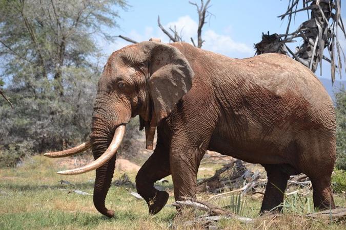 A bull elephant in Samburu National Park, Kenya