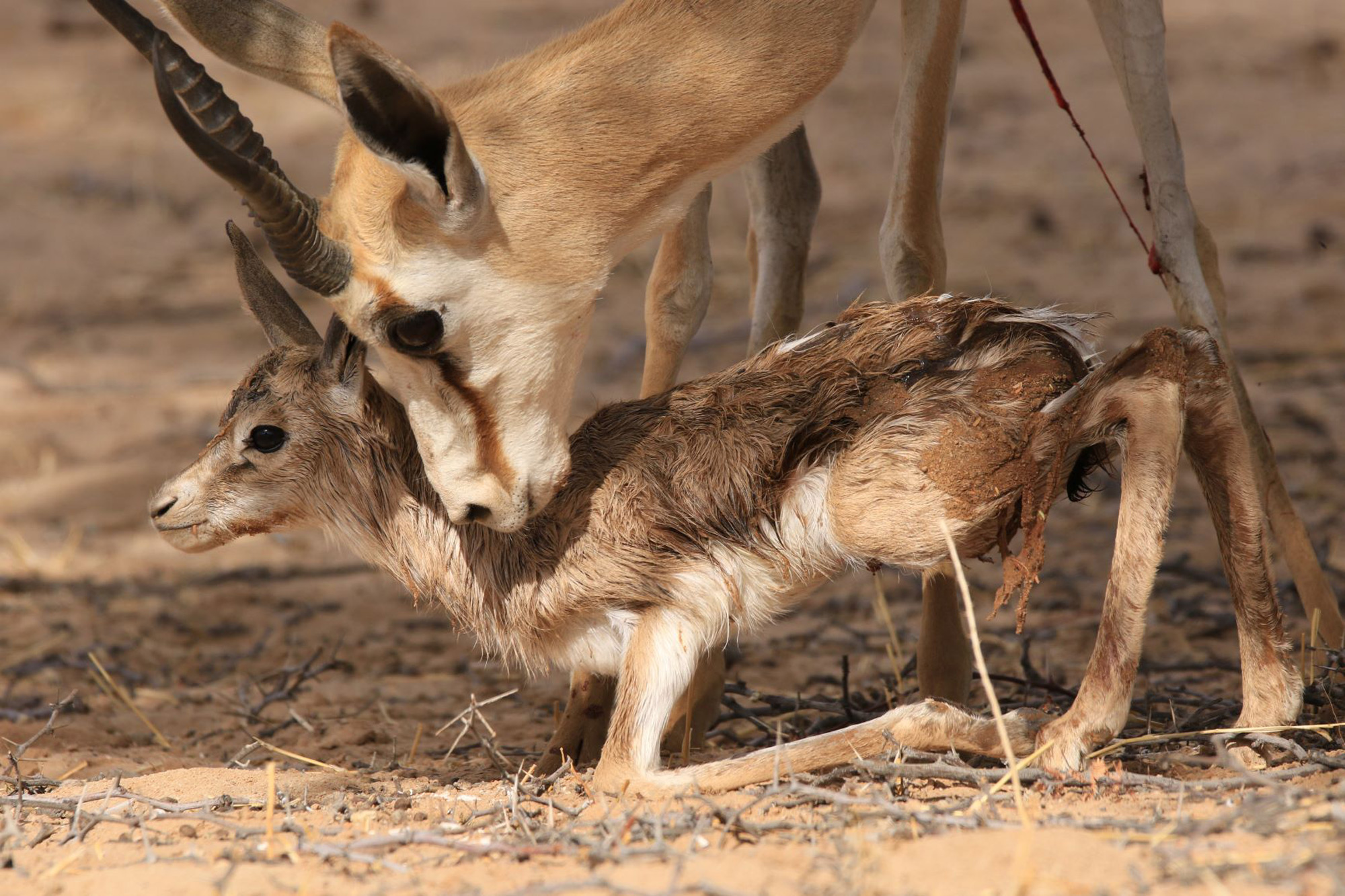 A mother springbok nuzzles her newborn in Kgalagadi Transfrontier Park, South Africa