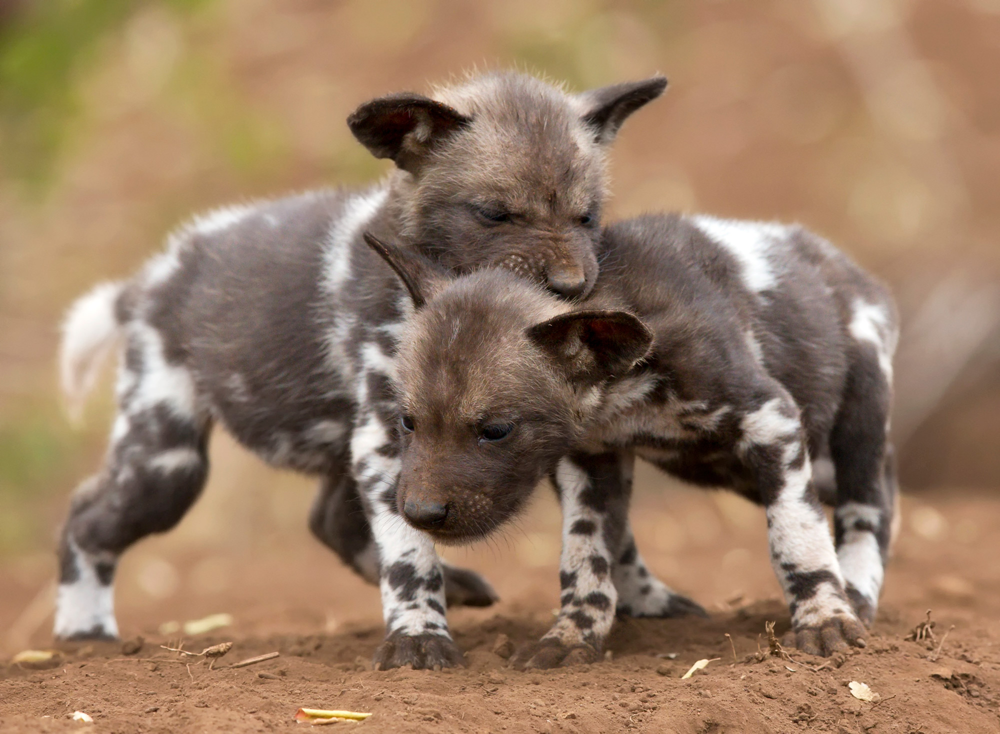 Painted wolf (African wild dog) puppies play in Zimanga Private Game Reserve, South Africa