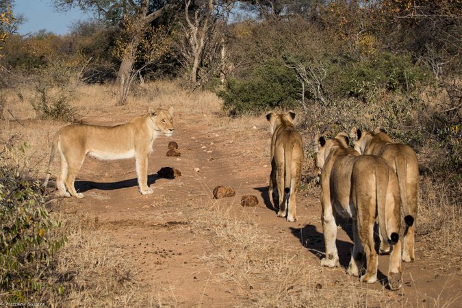 Lionesses in Balule Nature Reserve