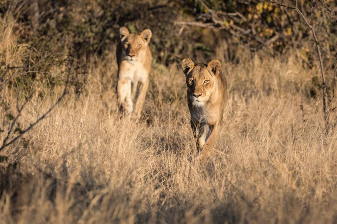 Two lionesses in Balule Nature Reserve