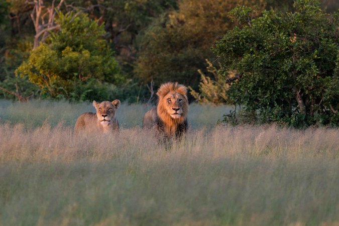 Lion and lioness in Balule Nature Reserve