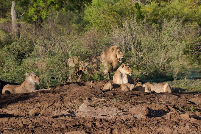 Lion pride in Balule Nature Reserve