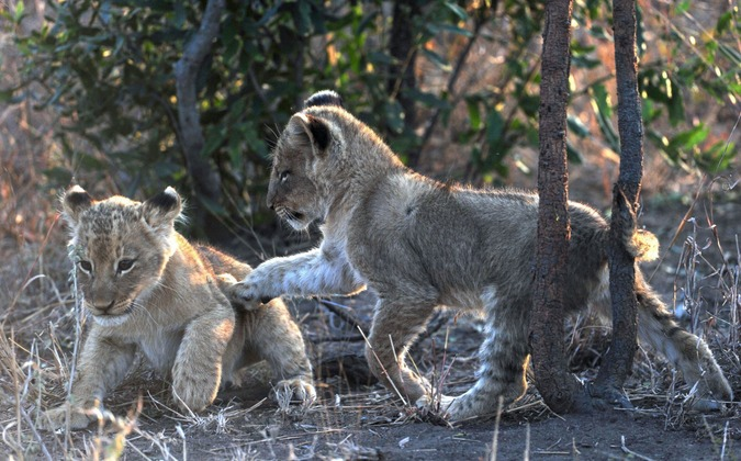 The Talamati Pride lion cubs