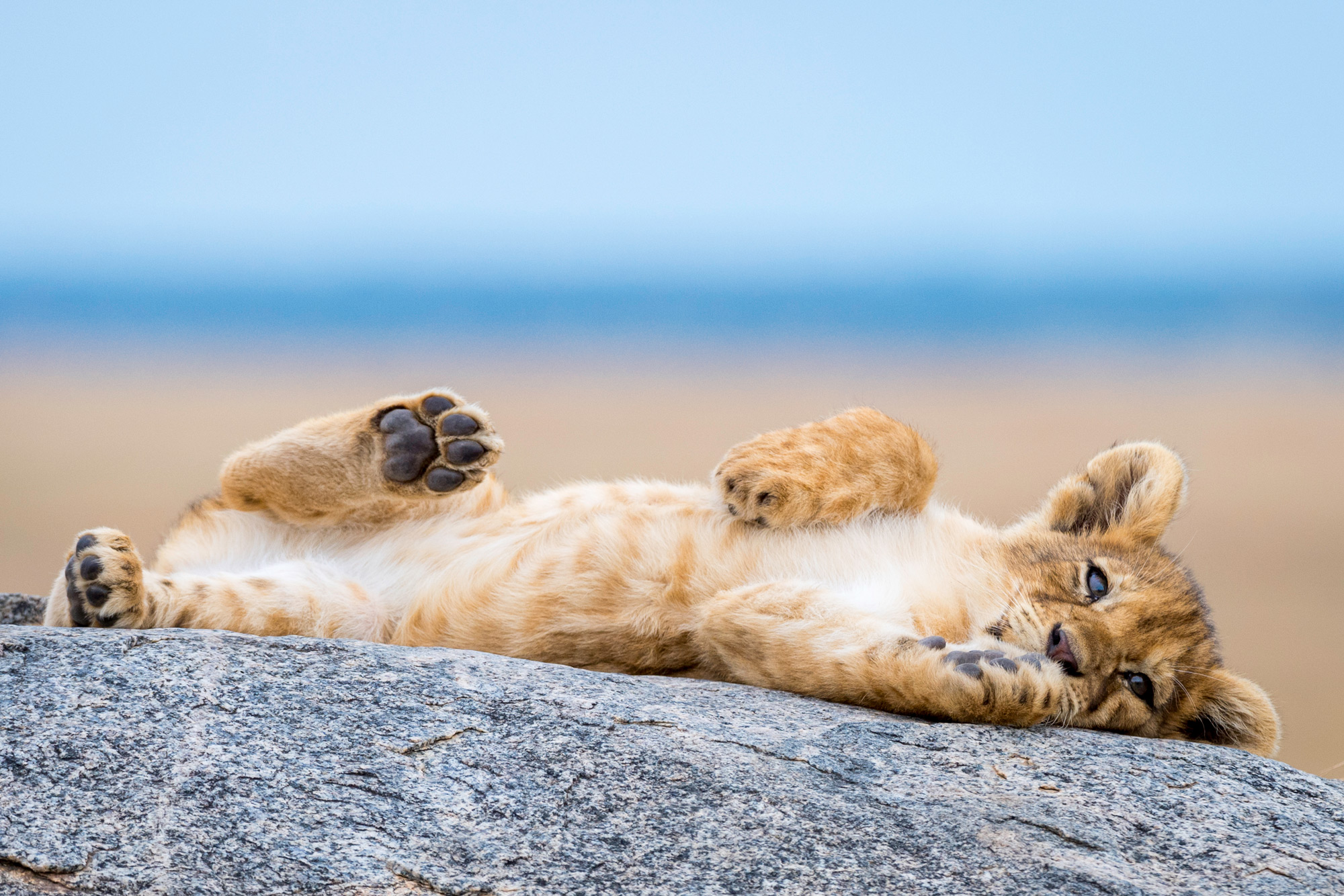 A lion cub relaxes on a rock in Serengeti National Park, Tanzania