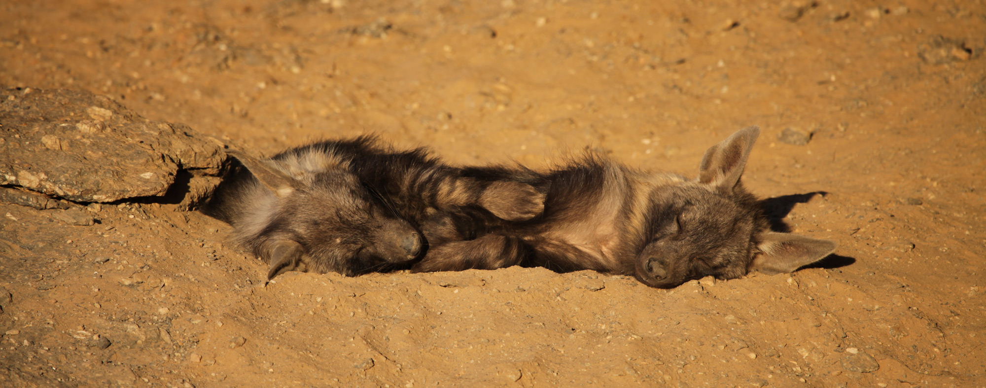 Two young brown hyenas take a nap at the entrance to their den