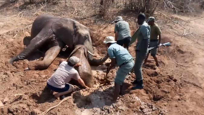 Elephant calf being rescued from mud