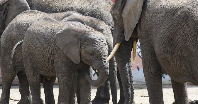 Elephants in a zoo
