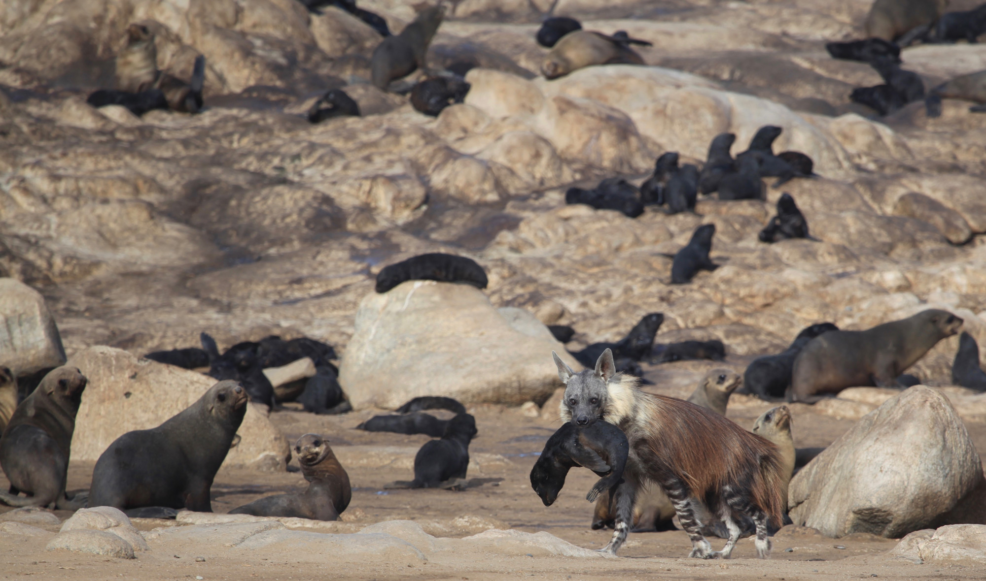 Brown hyena with Cape fur seal pup
