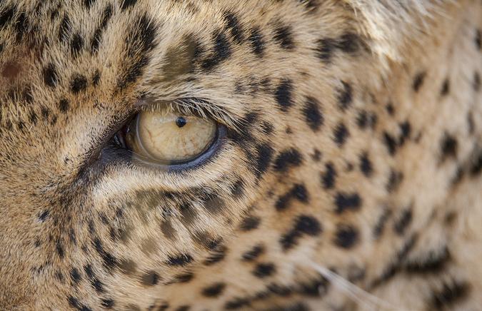 Close up of a leopard's eye, Timbavati