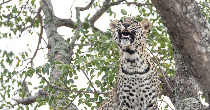 Young leopard in a tree, Timbavati