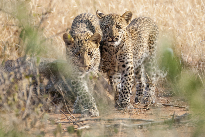 Two leopard cubs, Timbavati