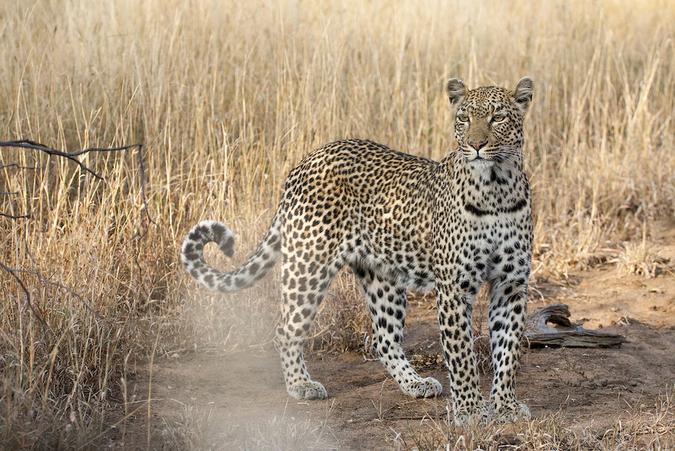 Leopard, Timbavati