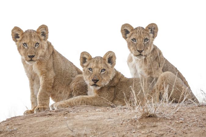 Three lion cubs, Timbavati
