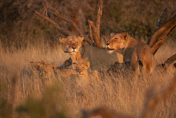 Family of lionesses and cubs, Timbavati