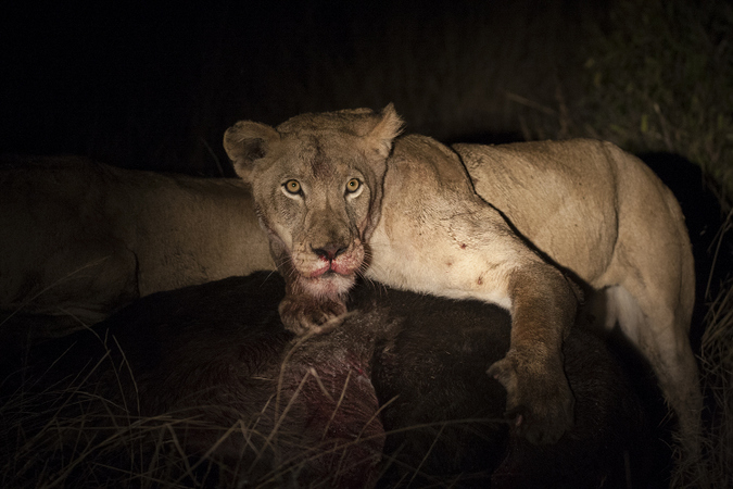 Lioness on buffalo kill, Timbavati