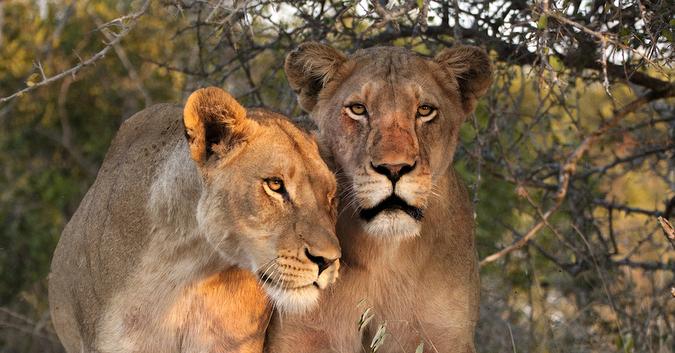 Two adult lionesses, Timbavati