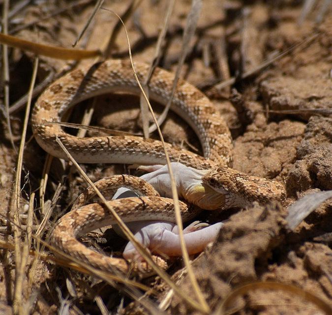 Dwarf beaked snake eating barking gecko