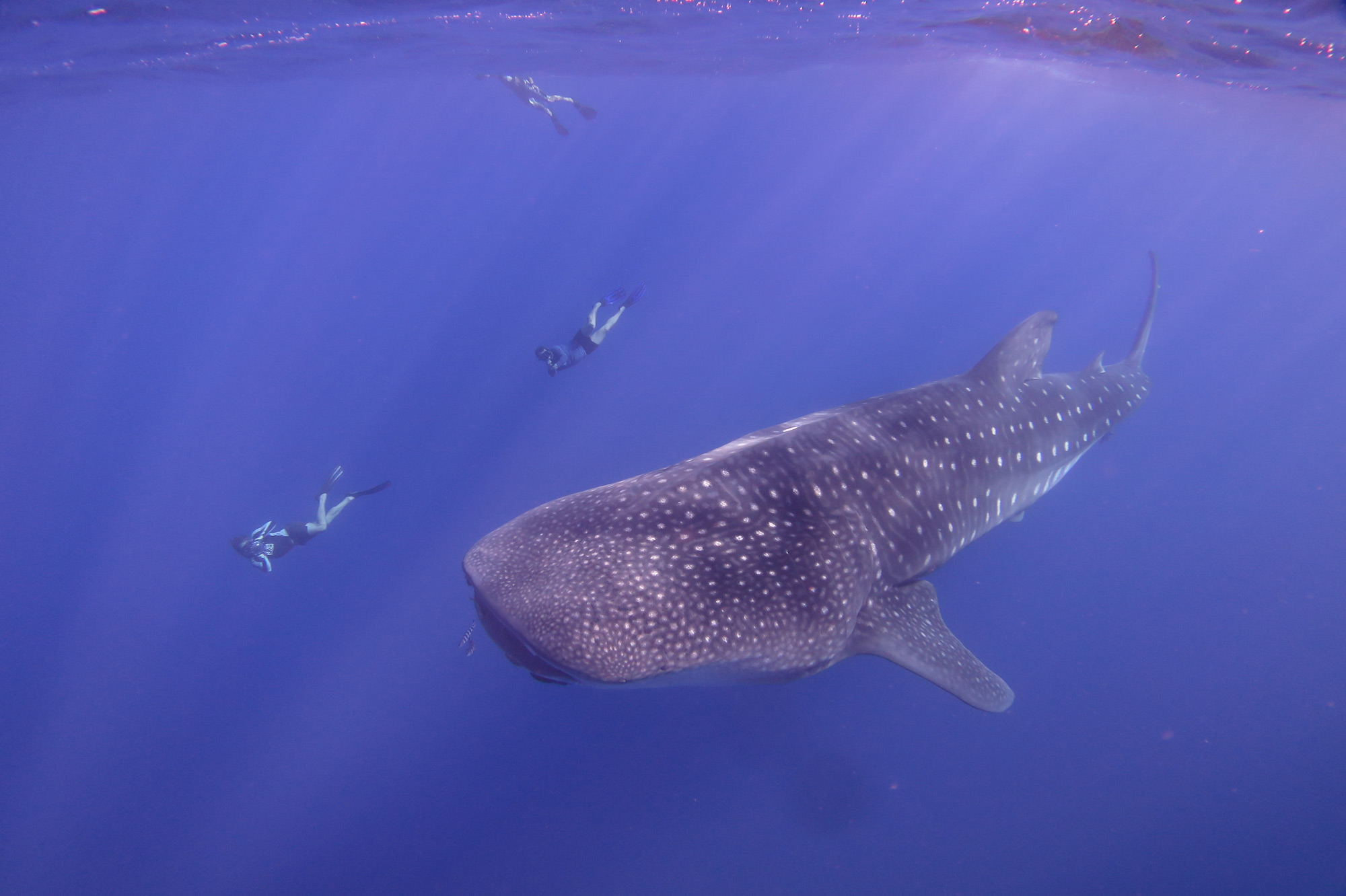 A whale shark and three people snorkelling off the coast of St. Helena