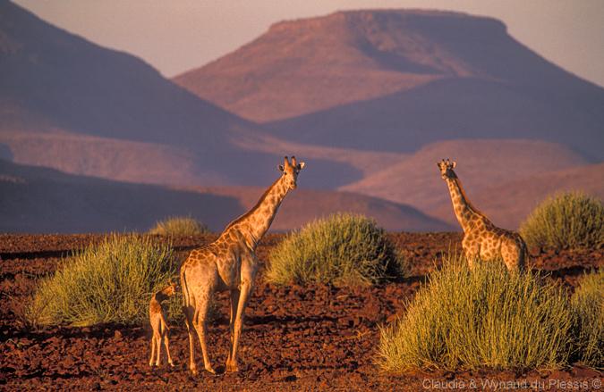 Giraffe in Palmwag, Namibia