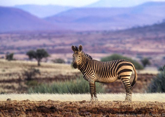 A zebra in Palmwag, Namibia
