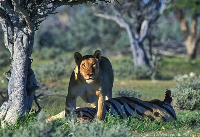 A lion with a zebra kill in Etosha National Park, Namibia
