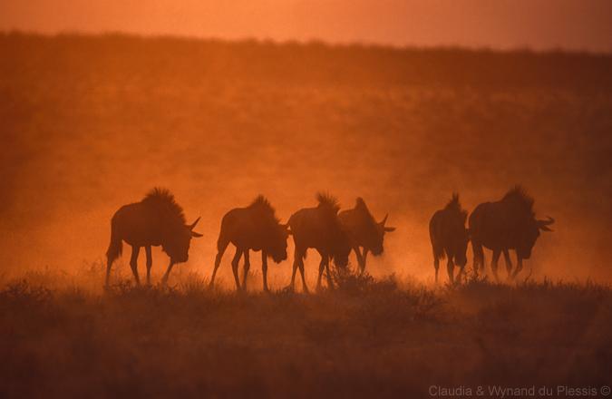 Wildebeest at sunrise in Etosha National Park , Namibia