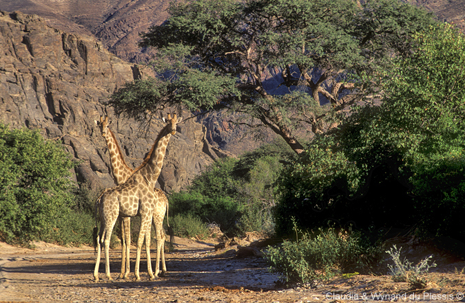 Giraffe inthe Hoanib River area, Namibia