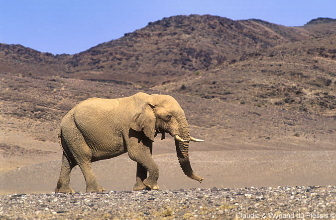 An elephant spotted in the Hoanib River area, Namibia