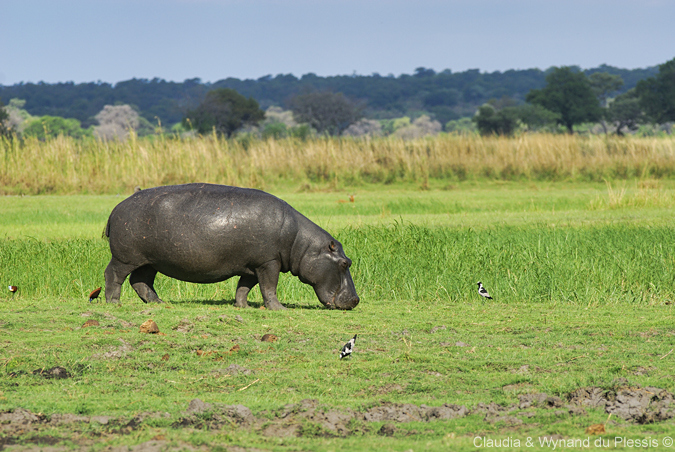 A hippo grazes in Mahango Game Reserve, Namibia
