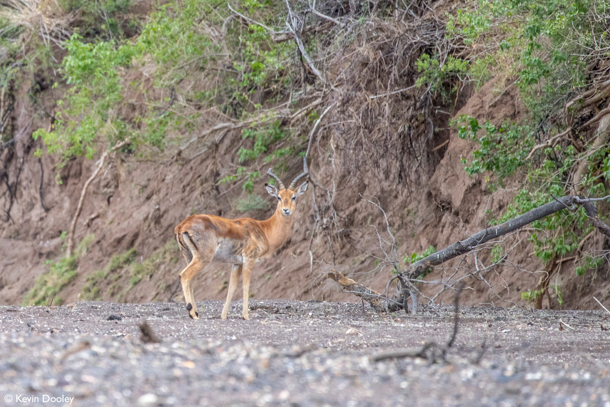 Male impala standing in dry riverbed