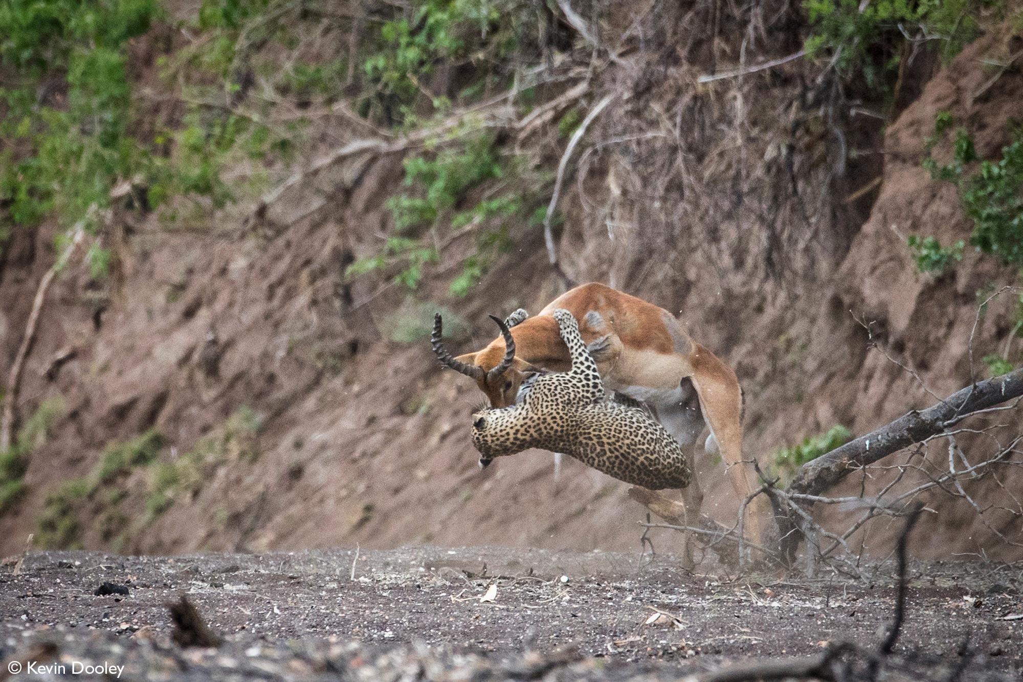Impala tries to escape leopardess