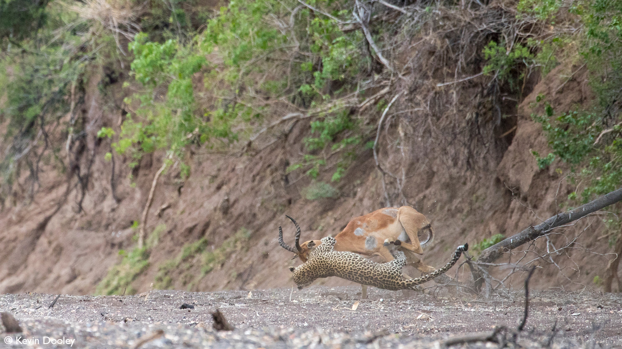 Leopardess brings impala down second time