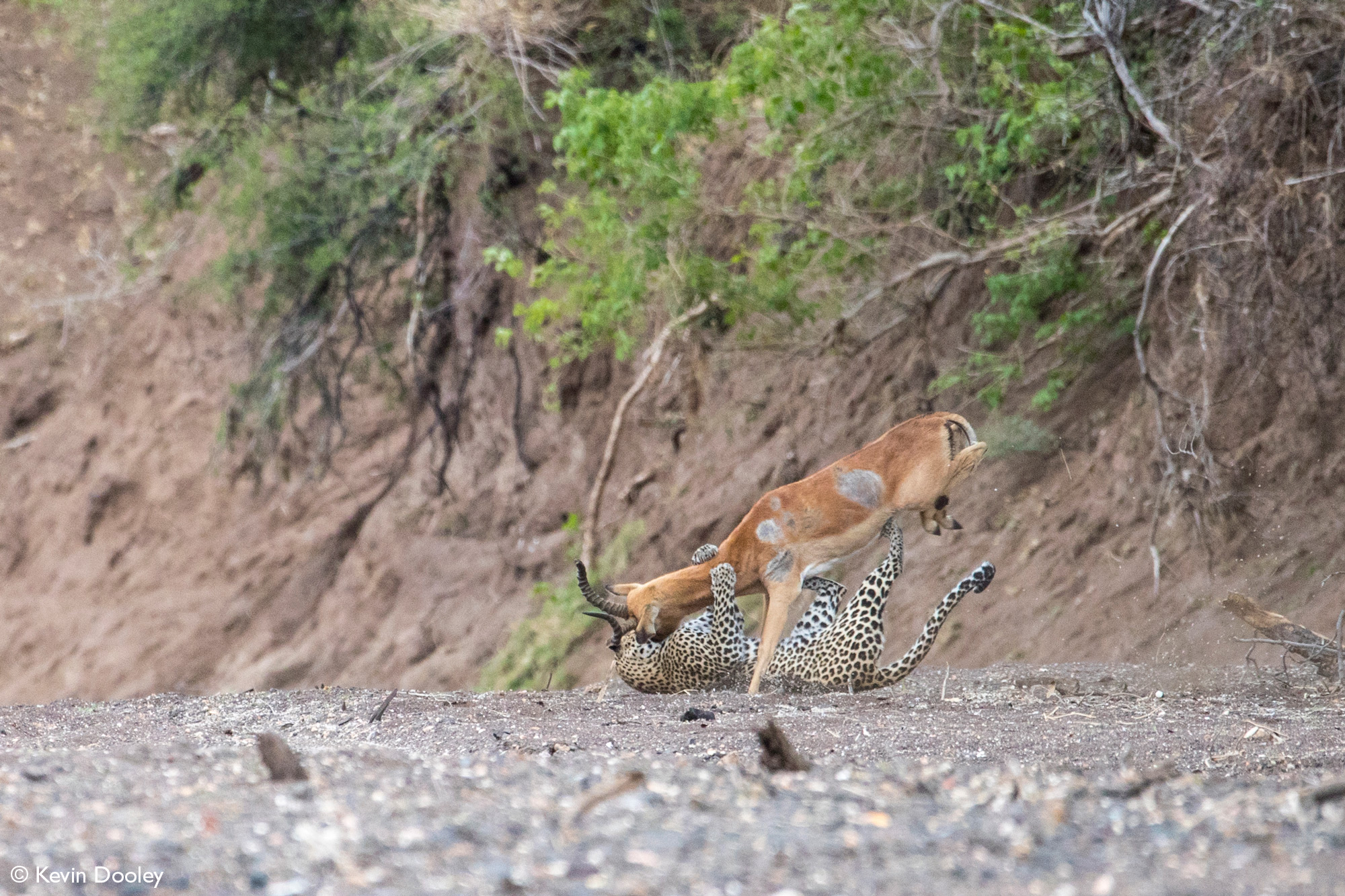 Leopardess wrestles impala to ground