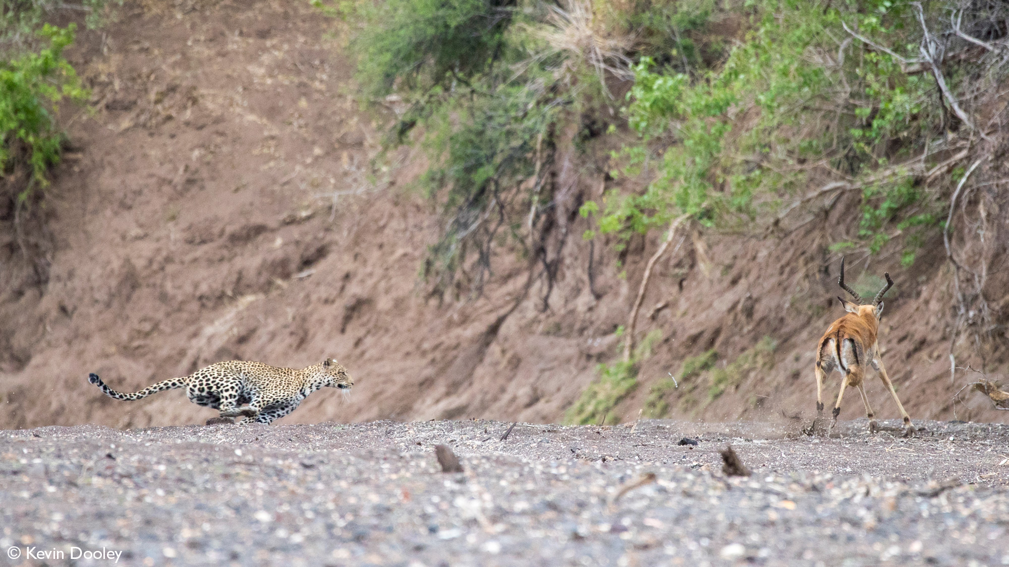 Leopardess chasing after male impala