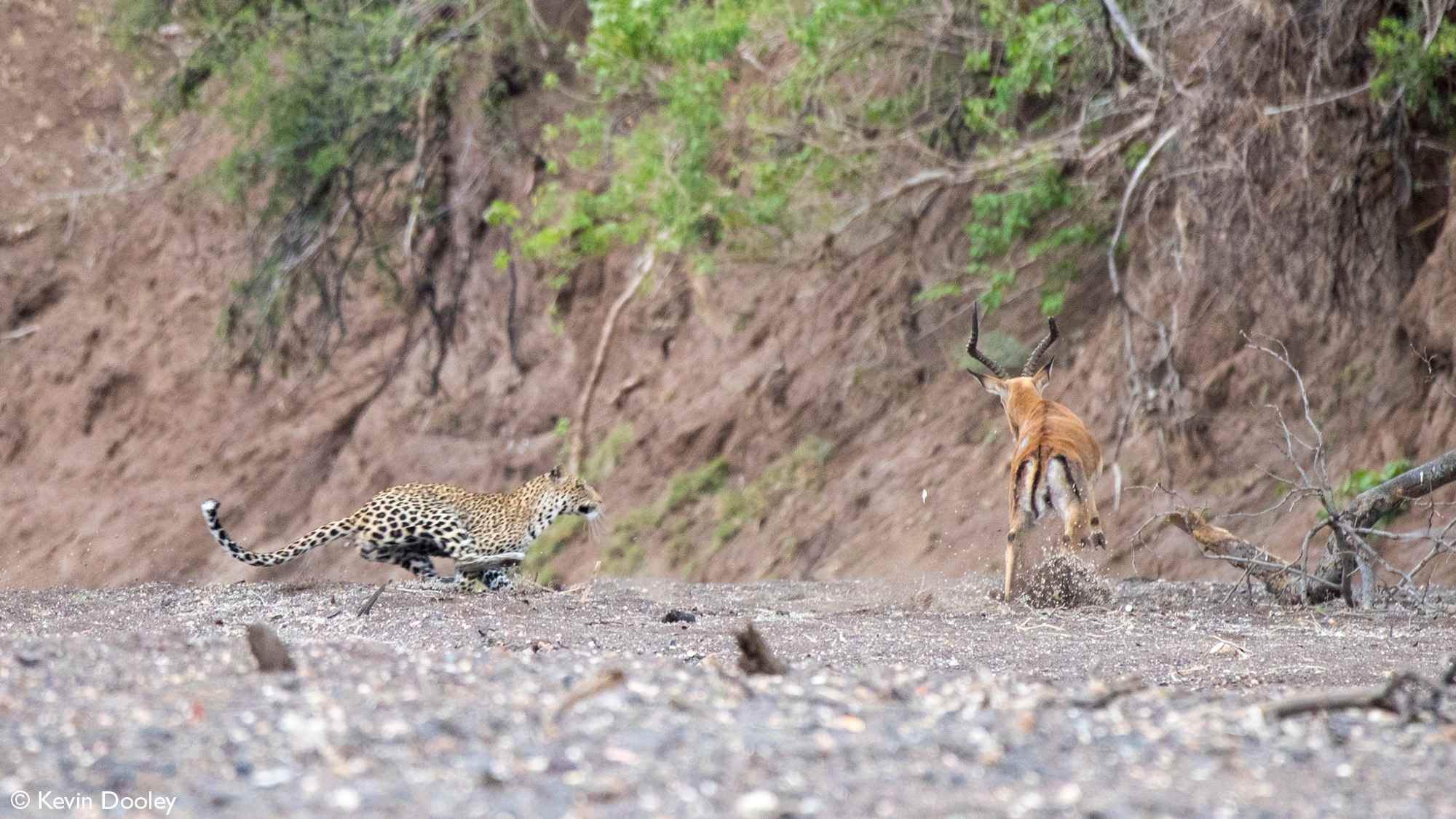 Leopardess about to catch impala