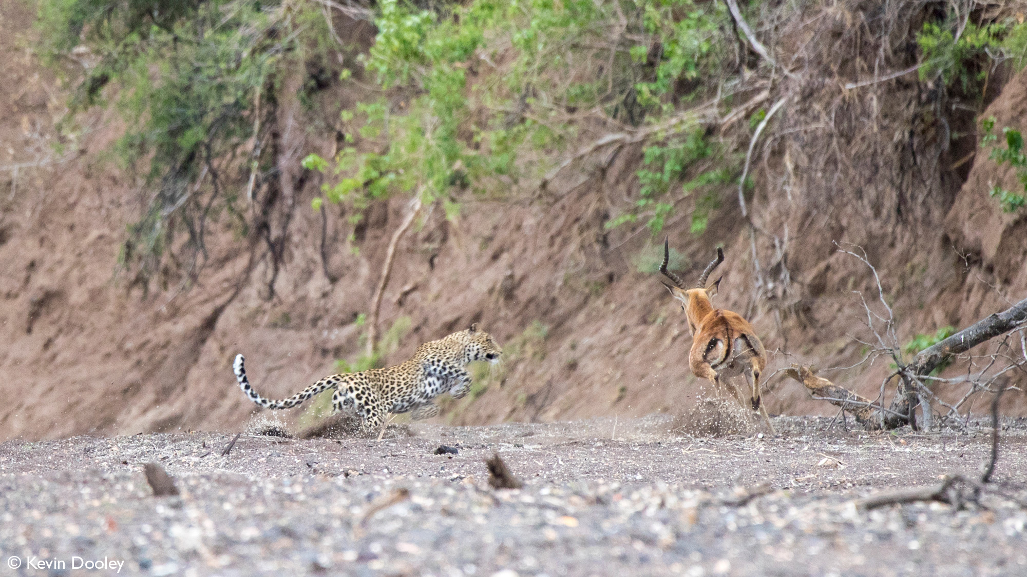 Leopardess leaping after impala