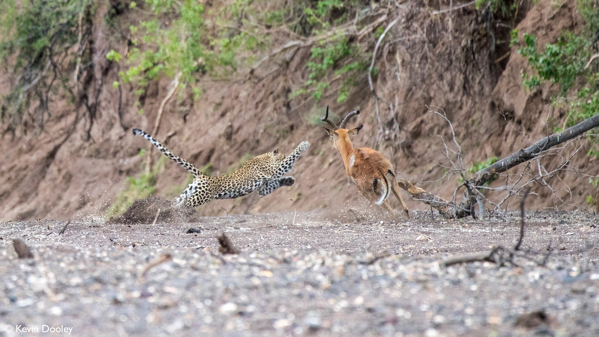 Leopardess strikes a paw out to hit impala