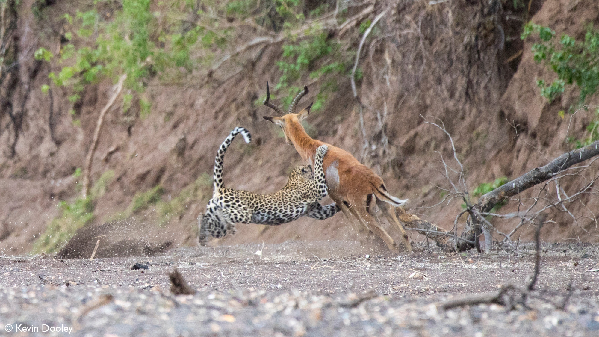 Leopardess catches impala