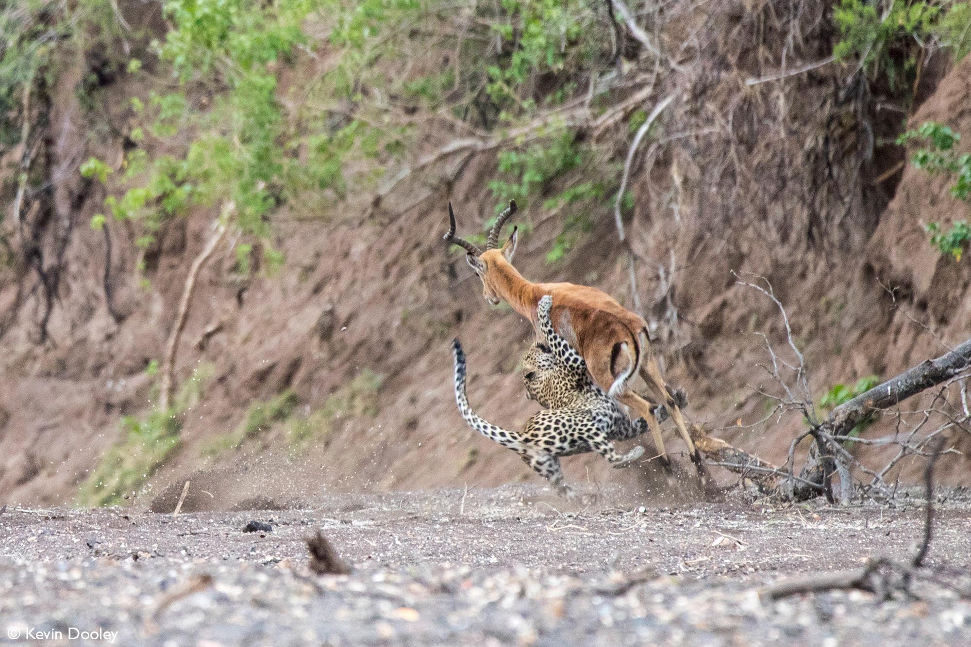 Leopardess takes down impala