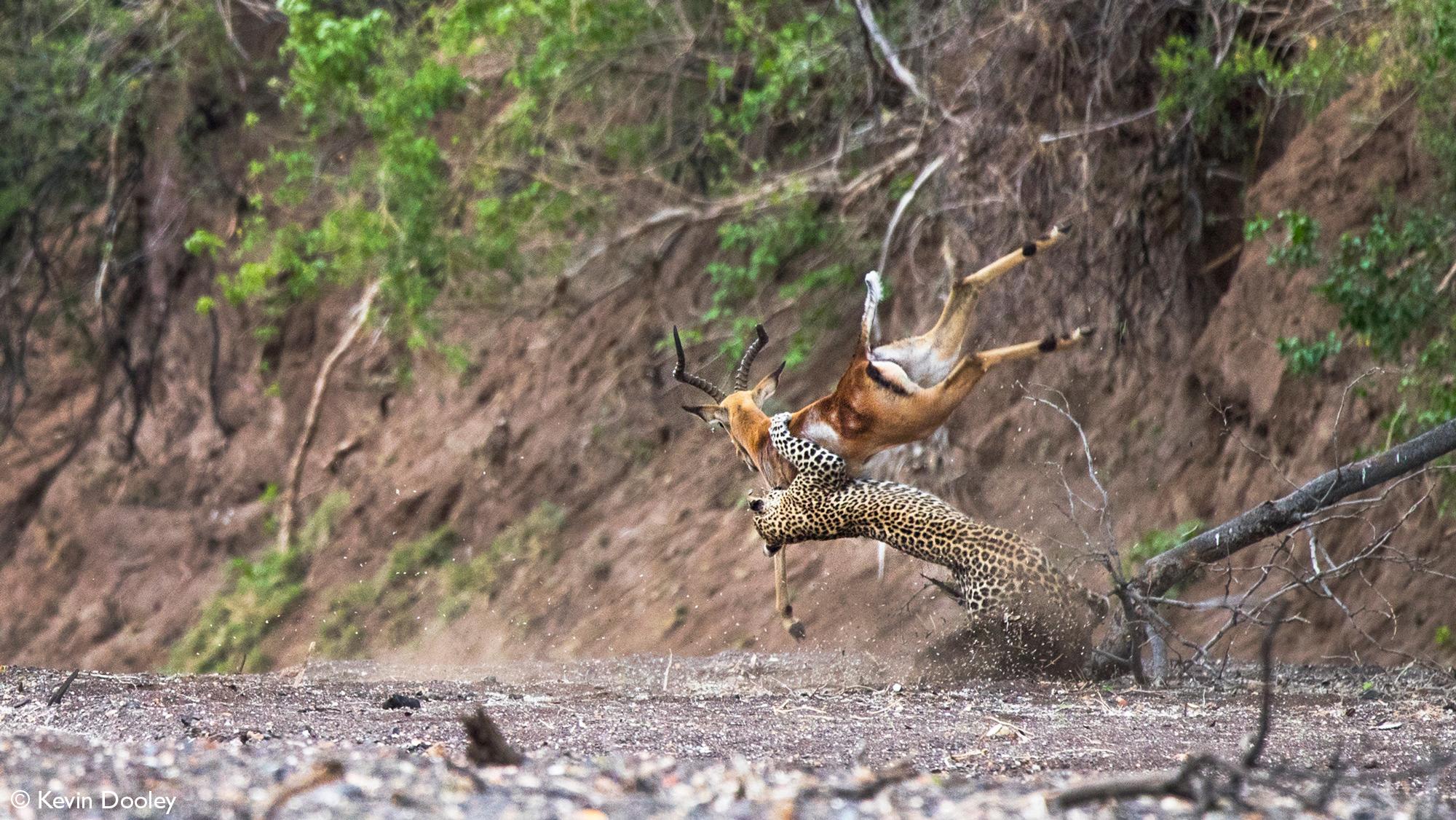 Leopardess flings impala into the air