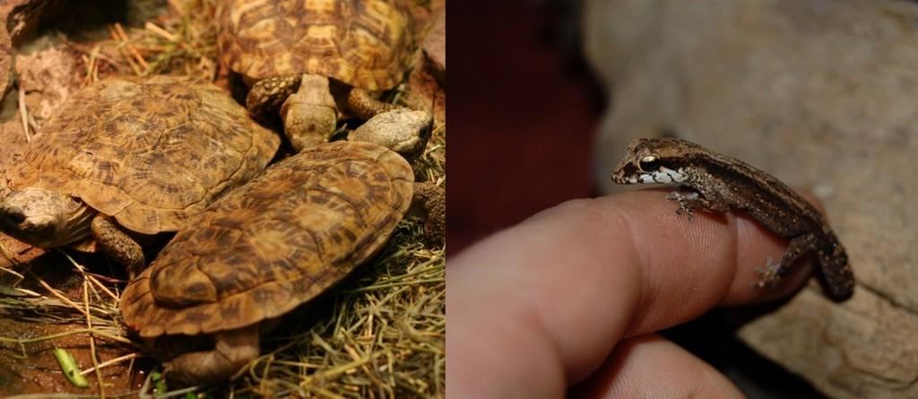 Ppancake tortoise and Grandidier's Madagascar ground gecko