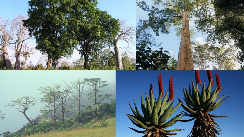 Collage showing the African padauk, afromosia, Mulanje cedar and bitter aloe