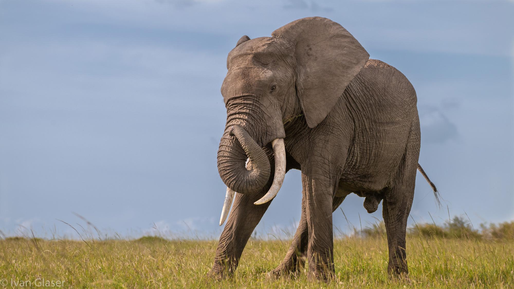 An elephant in Maasai Mara