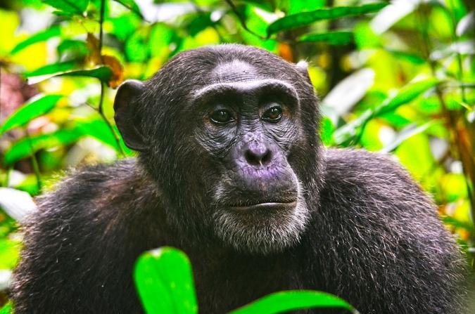 A chimpanzee in Kibale National Park
