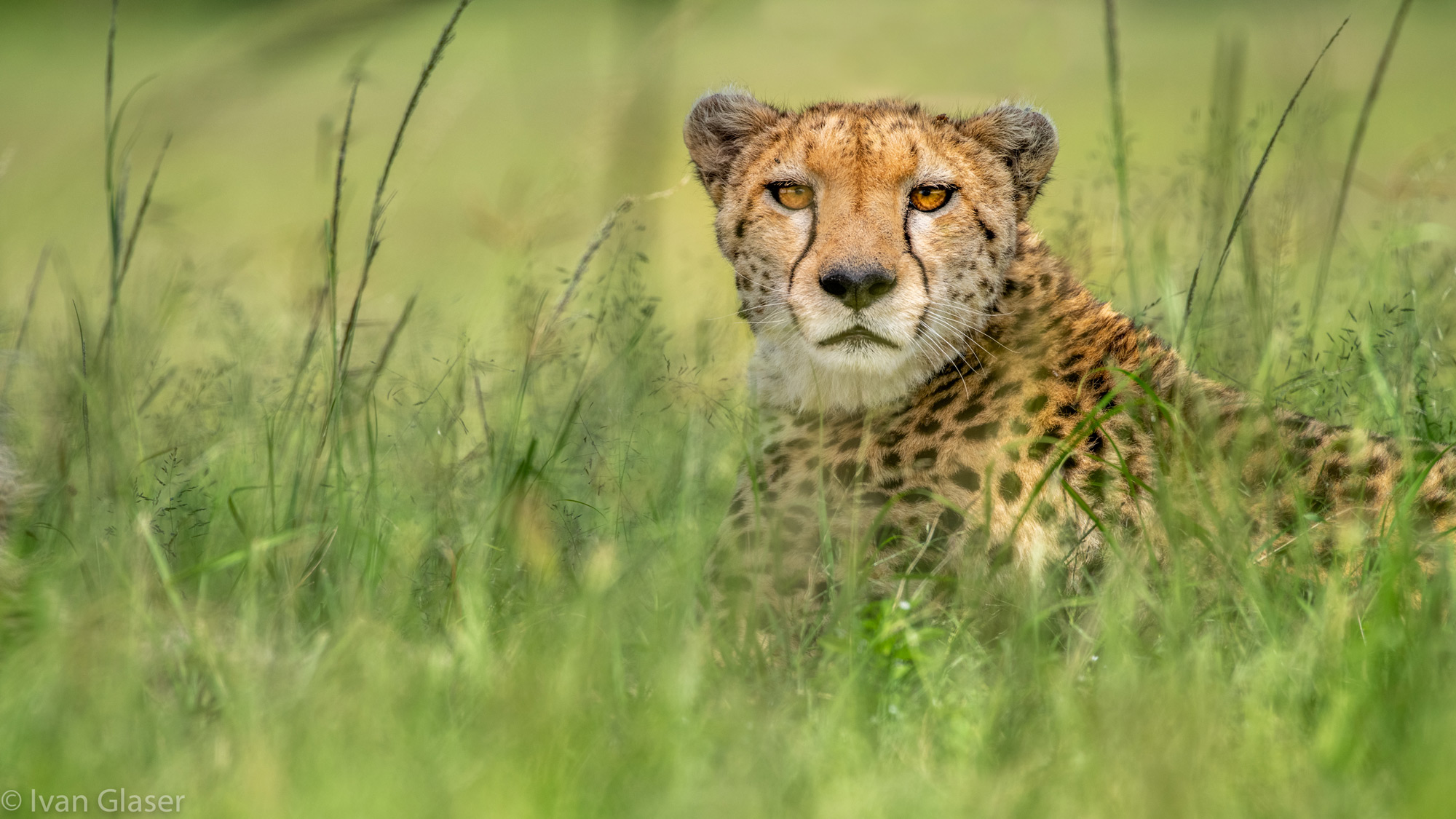 Cheetah resting in the grass in Maasai Mara